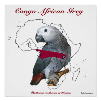 African Grey Poster Glossy