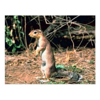 African Ground Squirrel Postcard