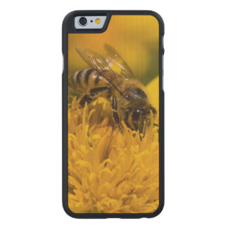 African Honey Bee With Pollen Sacs Feeding Carved Maple iPhone 6 Slim Case