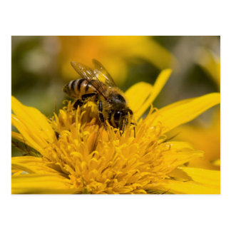 African Honey Bee With Pollen Sacs Feeding Postcard