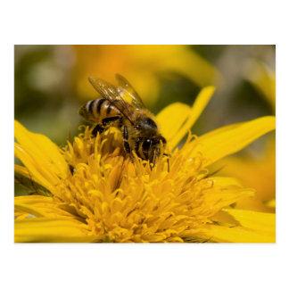 African Honey Bee With Pollen Sacs Feeding Postcard