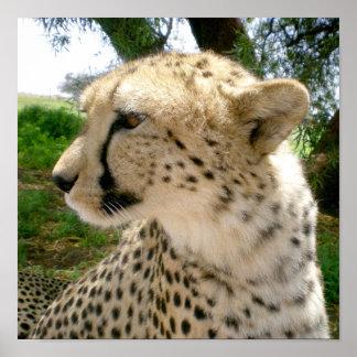 African Jungle Safari  Wild Cats Cheetahs Poster