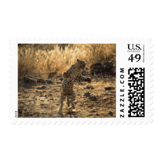 African leopard on hind legs , Namibia , Africa Postage