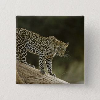 African Leopard, Panthera pardus, in a tree in 2 Button
