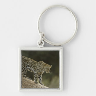 African Leopard, Panthera pardus, in a tree in 2 Keychain