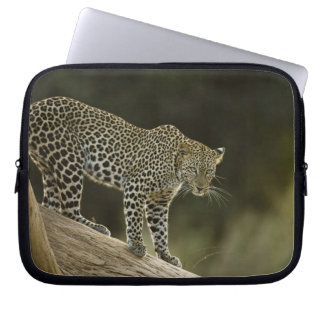African Leopard, Panthera pardus, in a tree in 2 Laptop Sleeve
