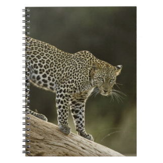 African Leopard, Panthera pardus, in a tree in 2 Notebook