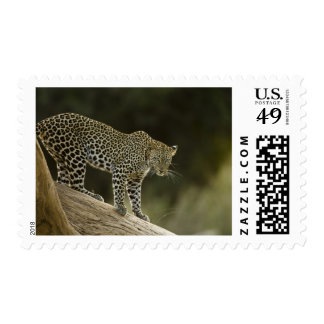 African Leopard, Panthera pardus, in a tree in 2 Postage Stamp