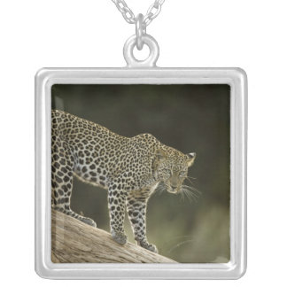 African Leopard, Panthera pardus, in a tree in 2 Silver Plated Necklace
