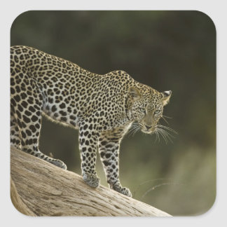 African Leopard, Panthera pardus, in a tree in 2 Square Sticker