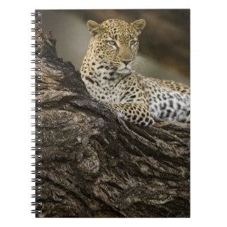 African Leopard, Panthera pardus, in a tree in Notebook