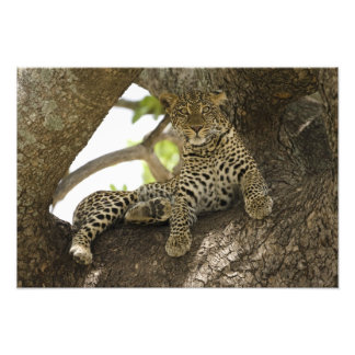 African Leopard, Panthera pardus, in a tree in Photo Print