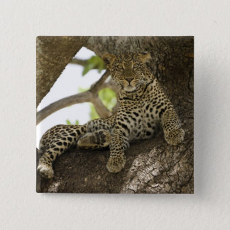 African Leopard, Panthera pardus, in a tree in Pinback Button