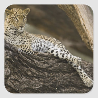 African Leopard, Panthera pardus, in a tree in Square Sticker