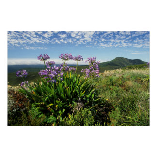African Lily (Agapanthus praecox), Mossel Bay Poster