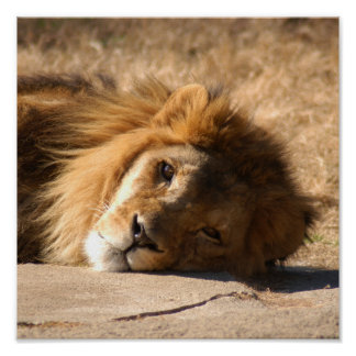 African Lion-7136--11x11 Poster