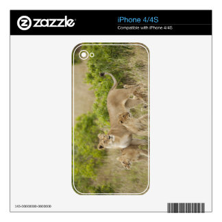 African Lion adult female with cubs, alert iPhone 4S Decal