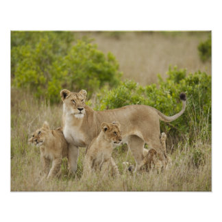 African Lion adult female with cubs, alert Print