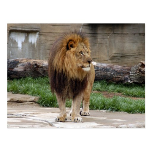 african-lion-b-3 tarjeta postal