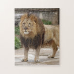 african-lion-b-5 jigsaw puzzle