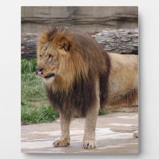 african-lion-b-6 placa para mostrar