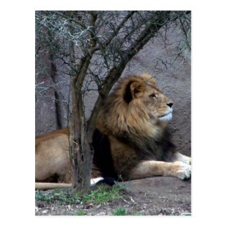 african lion by tree postcard