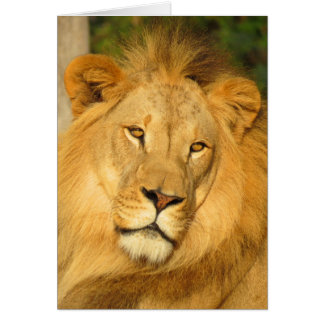 African Lion Greeting Cards