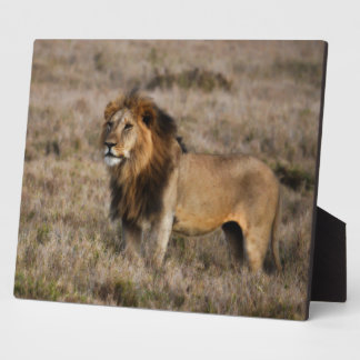 African Lion in Grass Plaque