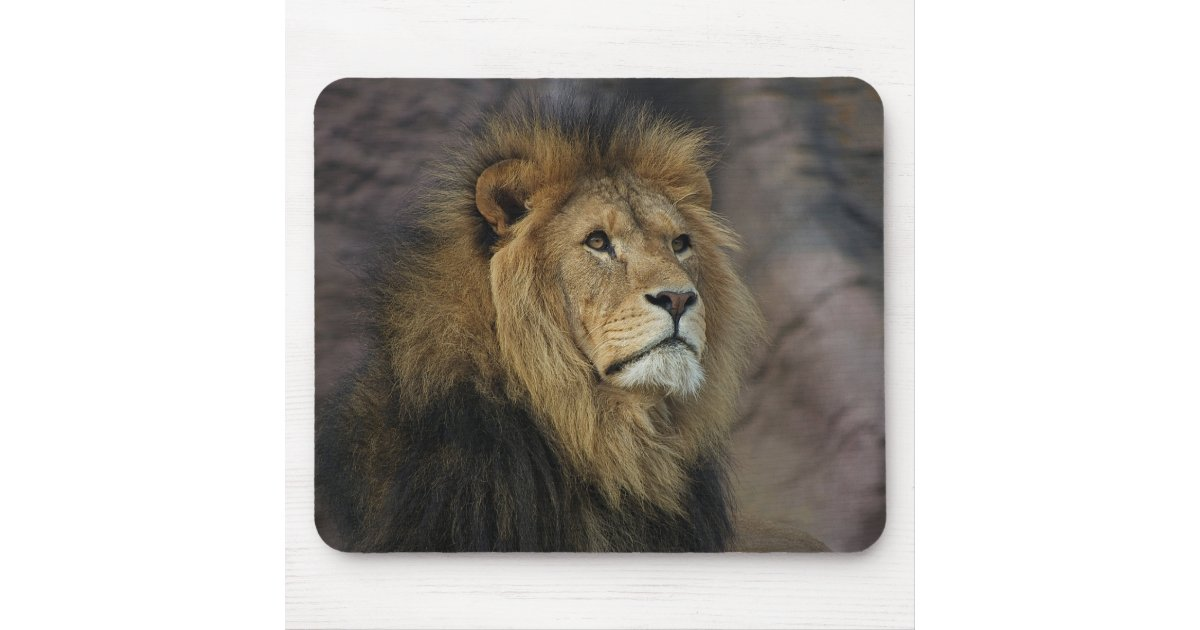 African Lion, national Geographic