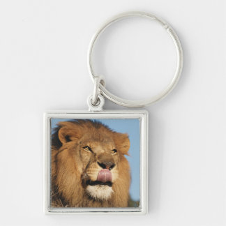 African Lion (Panthera Leo), African savannah Keychain