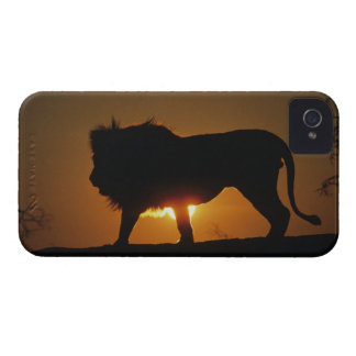 African lion (Panthera leo) against sunset, Case-Mate iPhone 4 Case