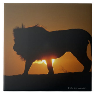 African lion (Panthera leo) against sunset, Large Square Tile