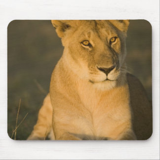 African Lion, Panthera leo, at sunrise. Masai Mouse Pad
