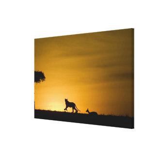 African Lion, Panthera leo, chasing gazelle Canvas Print