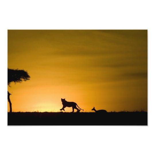 African Lion, Panthera leo, chasing gazelle Photo Print