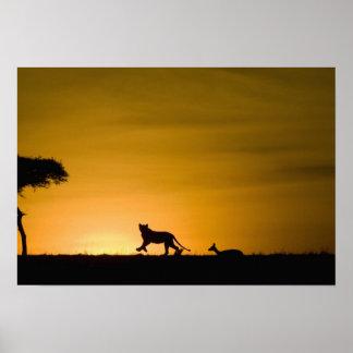 African Lion, Panthera leo, chasing gazelle Poster