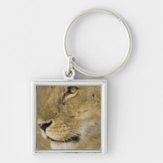 African Lion, Panthera leo, close up portrait Keychain