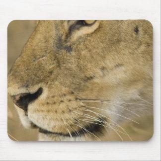 African Lion, Panthera leo, close up portrait Mouse Pad
