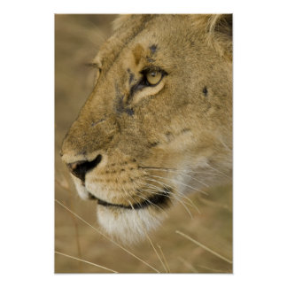 African Lion, Panthera leo, close up portrait Poster