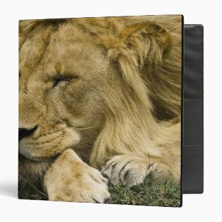 African Lion, Panthera leo, laying down asleep Binder