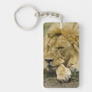 African Lion, Panthera leo, laying down asleep Key Chains