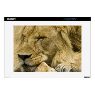 African Lion, Panthera leo, laying down asleep Laptop Decal