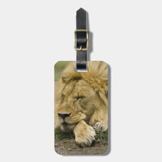 African Lion, Panthera leo, laying down asleep Luggage Tag