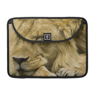 African Lion, Panthera leo, laying down asleep Sleeve For MacBooks