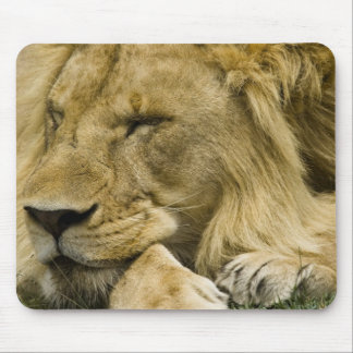 African Lion, Panthera leo, laying down asleep Mouse Pad