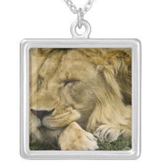 African Lion, Panthera leo, laying down asleep Custom Necklace