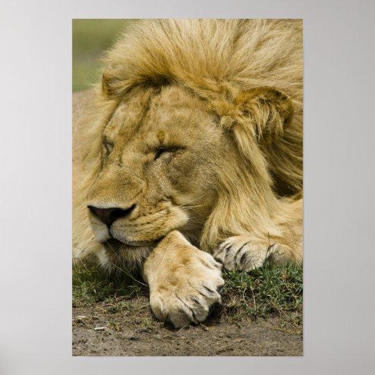 African Lion, Panthera leo, laying down asleep Poster