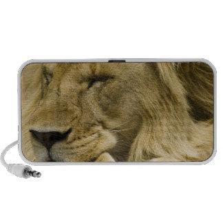 African Lion, Panthera leo, laying down asleep iPhone Speaker