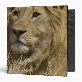 African Lion, Panthera leo, Portrait of a Vinyl Binders