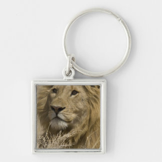 African Lion, Panthera leo, Portrait of a Keychain